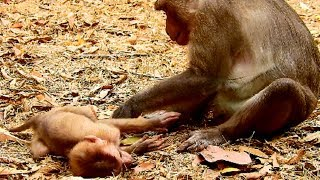 Orphan Axel miss mum& father!!! Why Jimo make baby so frighten? Monkey maltreat baby thumbnail