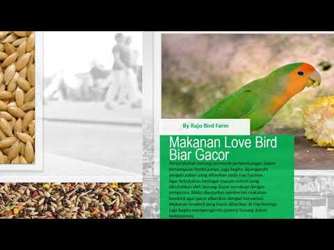 Cara Perawatan Dan Pemberian Pakan Pada Burung Love Bird Youtube