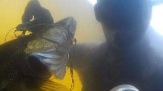 Кого стрелять СОМ vs СУДАК?подводная охота на сома судака 2016.(Подводная охота в Рязанской области.Один из эпизодов охоты на хорошей глубокой речке.В одном из омутов..., 2016-01-23T12:18:03.000Z)