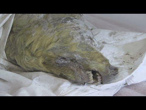 В Сибири нашли голову волка, умершего 40 000 лет назад