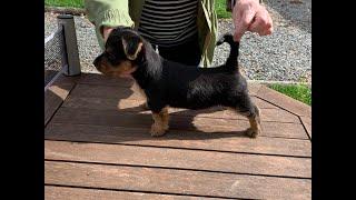 Australian terrier Aapo first 8 months