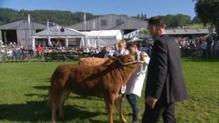 Gwartheg Bîff Masnachol - Heffer | Commercial Beef Cattle - Heifer