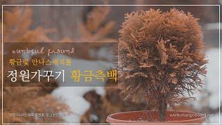 정원나무_정원가꾸기 정원에 심으면 예쁜 나무_황금 측백…