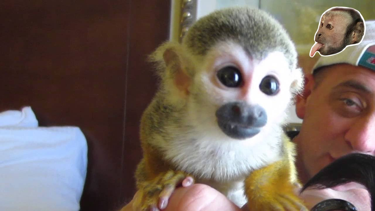 baby squirrel monkey youtube