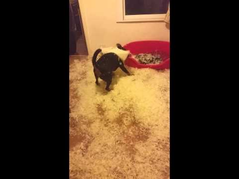 Rottweiler has fun with a feather cushion