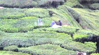 Cameron Highlands (tea plantations)