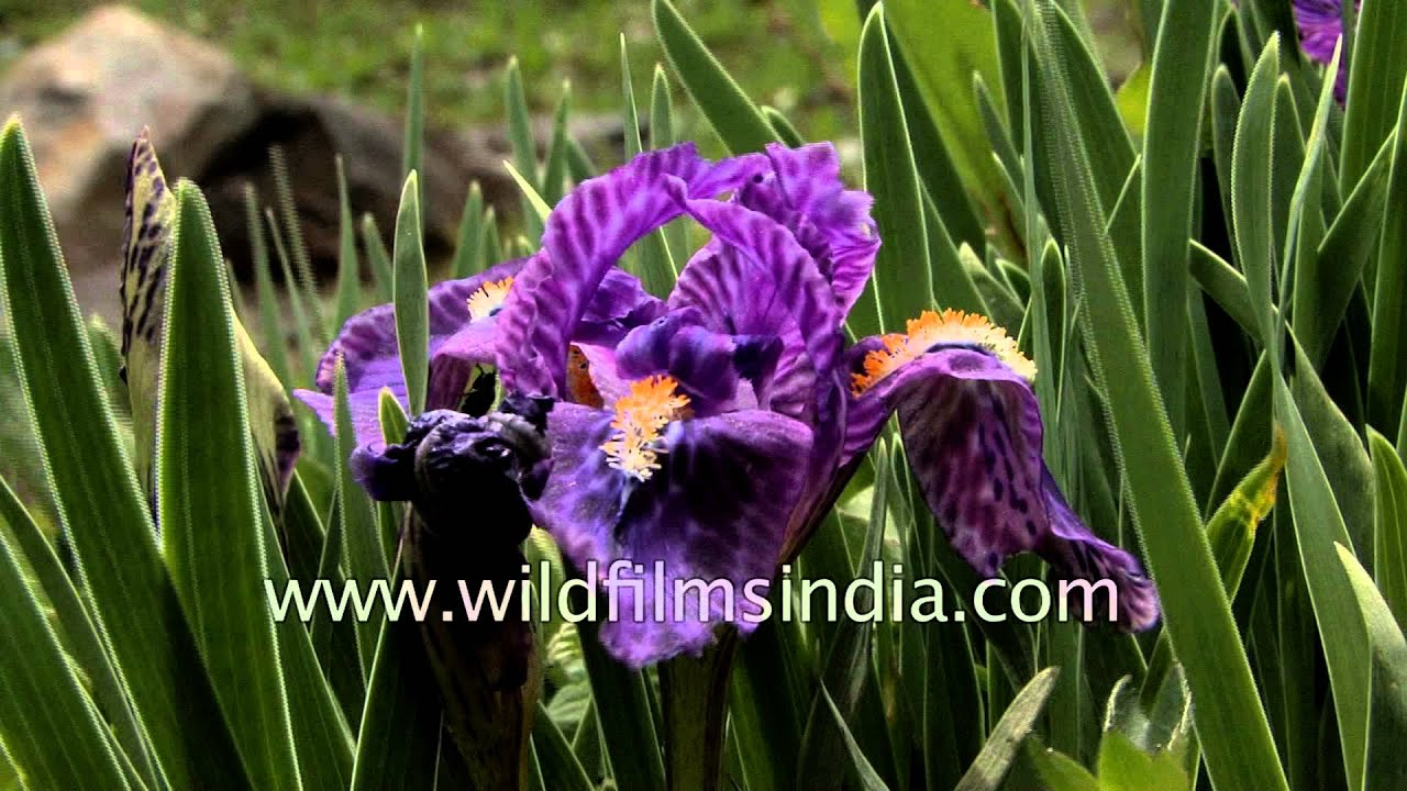 Iris kemaonensis growing wild in western himalayan profusion youtube iris kemaonensis growing wild in western himalayan profusion izmirmasajfo