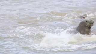 Hawaiian Monk Seal Fight