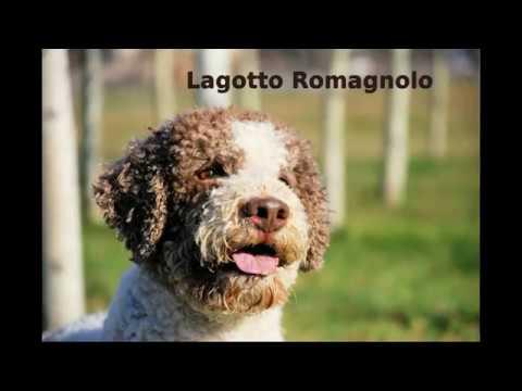 Lagotto Romagnolo - appearance, health, barking