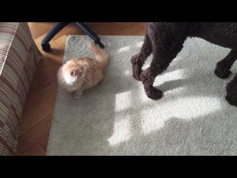 Dog vs. Cat Wrestling