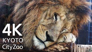京都市動物園のライオンたちです。かわいいです!肉球もペロペロしてる...