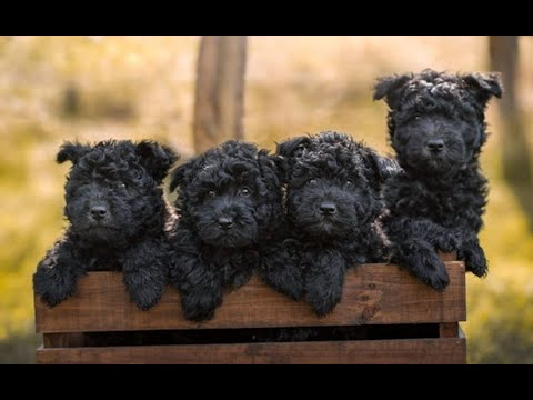 Affenpinscher  affenpinschers  best of breed