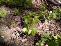 How to Kill Poison Ivy in One Day-  Without Poisonous Chemicals