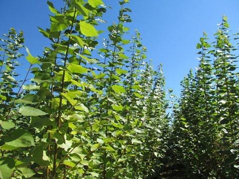 Hybrid Poplar Tree Webinar: How do hybrid...