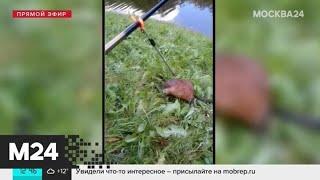 Ондатры стали чаще появляться в парках столицы - Москва 24