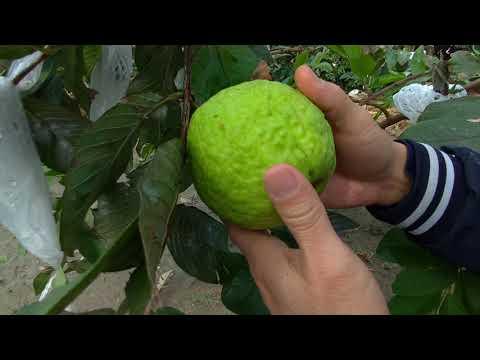 我的手做植栽「帝王芭樂」採果分享。