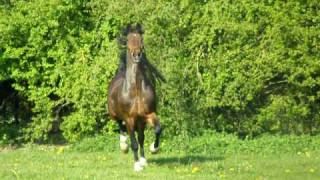 Hackney Horse William after 2 years in his stable enjoying  full freedom in the meadow!!
