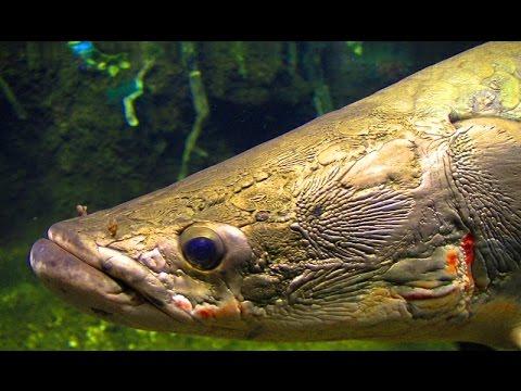"""巨大古代魚 ピラルクーの食餌映像 """" Arapaima gigas, Pirarucu feeding """""""