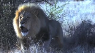 lion charge on bow hunter deadly close call at 3 meters hunting in africa