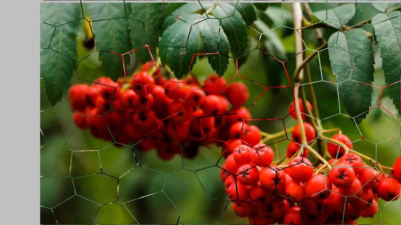 рябины гроздья фото