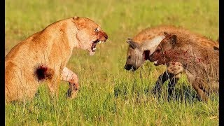 Animals attack - hyenas vs lions - hyenas deadly fight