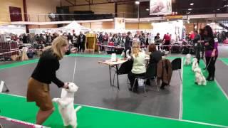 Вест-хайленд-уайт-терьер. Выставка собак ПетЭКСПО 2016 в Риге