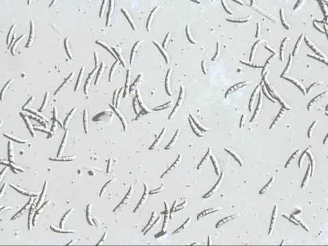 Fusarium oxysporum  Bacteria - KOREABIO