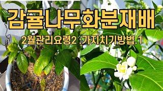 감귤나무 화분재배 2월관리요령2 : 가지치기방법.1