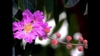 Bằng lăng tím - Phú Cường - Cover