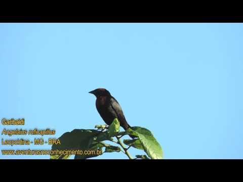 Garibaldi (Agelaius ruficapillus) - AVES - BIOLOGIA