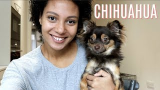 THE REALITY OF HAVING A CHIHUAHUA | Misconseptions about Chihuahuas uncovered