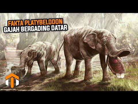 5 Fakta Platybelodon, Gajah Bergading Datar Yang Telah Punah