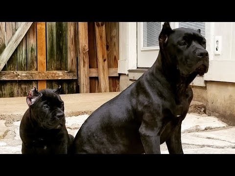 Feeding my Cane Corso puppy raw for the first time