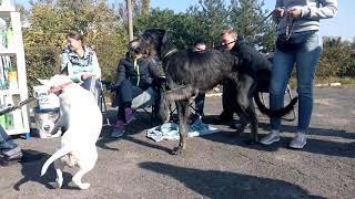 Бультерьер Таффи и Ирландский волкодав