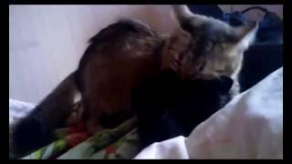 Кошка без передних лап