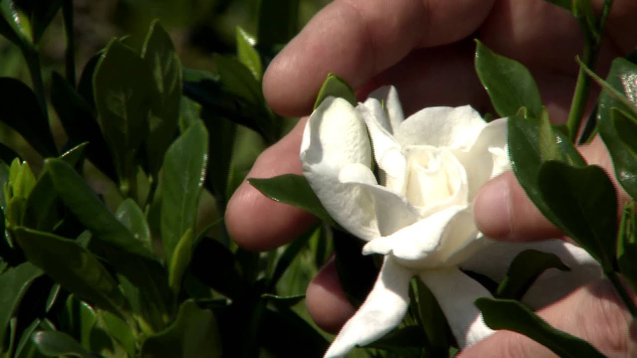 Don T Prune Gardenias Until Late May Early June Youtube