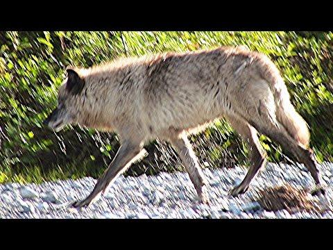 Wolves In Alaska