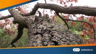 видео Дуб скальный Quercus rubra