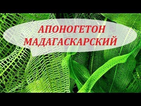 Апоногетон Мадагаскарский сетчатый увирандра. Содержание, размножение. Аквариумные растения.