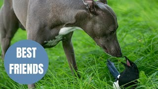 A magpie and a whippet have formed an unlikely friendship