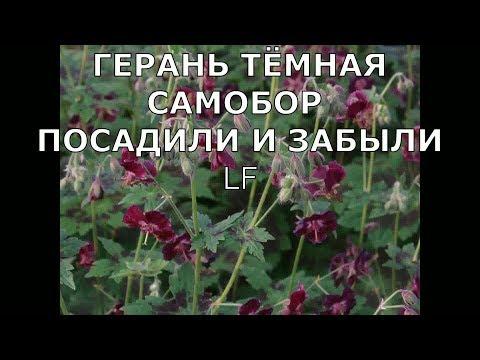 Многолетники Герань садовая/посадка выращивание/