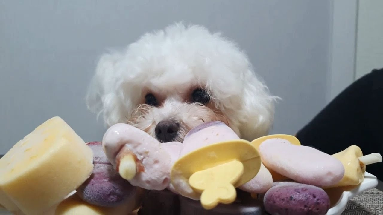 ENG★ 비숑 강아지 먹방 , 밥풀이 아이스크림 ASMR / Bichon Puppy Babpul icecream eating ASMR