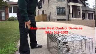 Raccoon Control near Burlington, Ontario