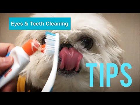 [shih tzu] Dog Eyes & Teeth Cleaning Routine Demo