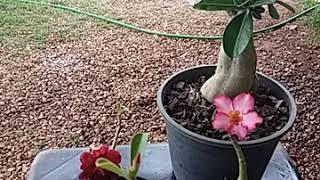 Segredos de Como Florir Rosa do Deserto