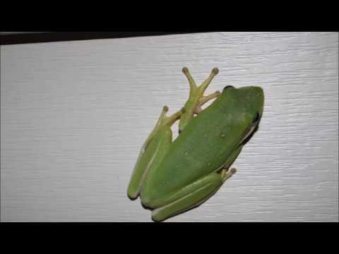 Вопрос: Почему лягушка зеленая?