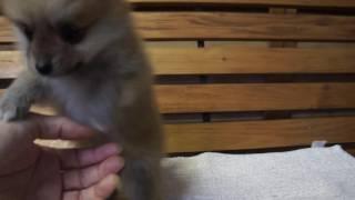 関西・中部のポメラニアン子犬販売 http://www.moo-pon.com/pome 三重県...