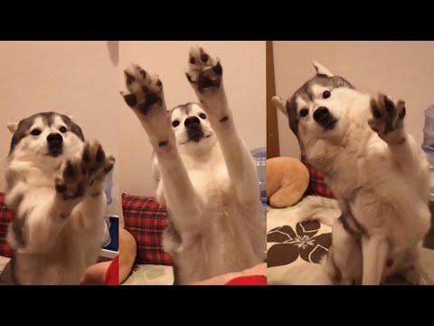 鹿肉を目前にお手の概念を覆しまくるシベリアンハスキー 〜空振りしてるよお手追撃〜