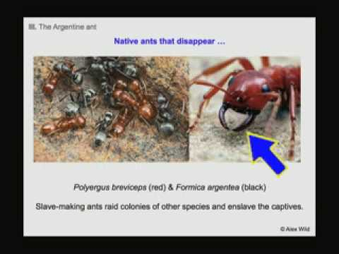 Ants Marching: A Biological Invasion in Your Own Backyard
