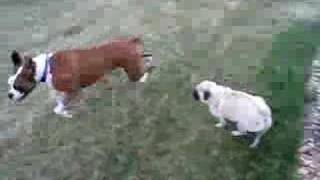 Boxer And Pug Playing
